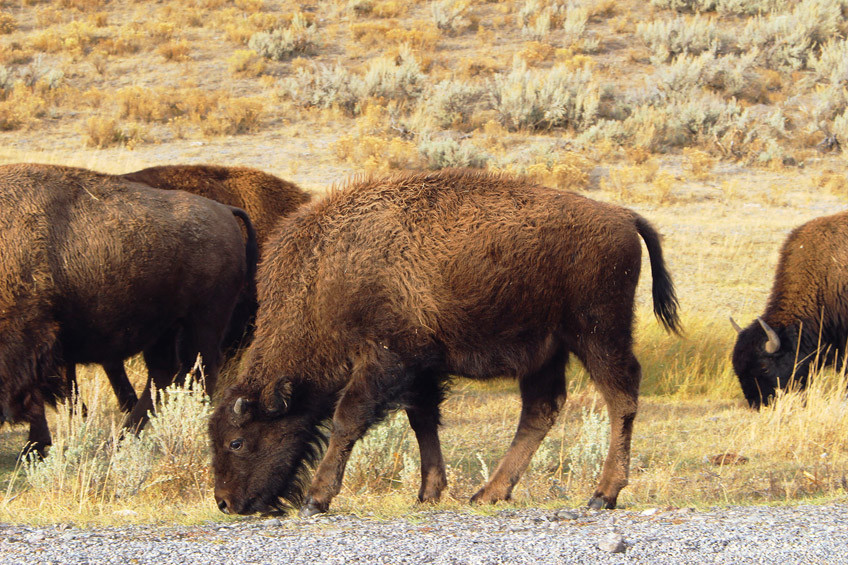 yellowstone-secteur-norris-mammoth-hot-springs-lamar-valley14